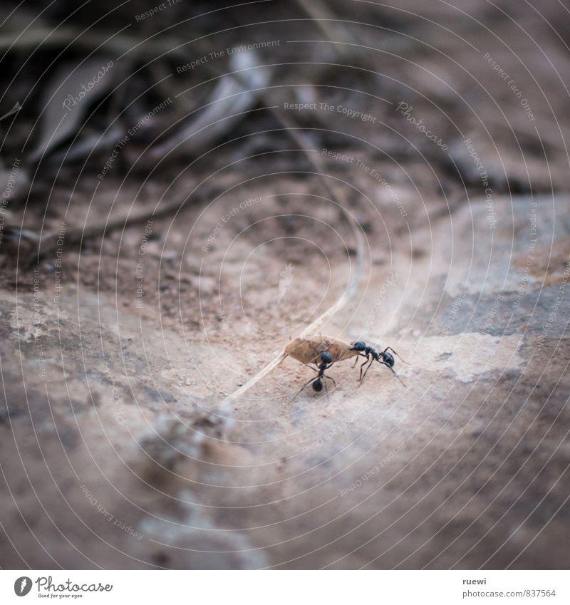 Jajaja, jetzt wird wieder in die Hände gespuckt Natur Tier schwarz Umwelt klein Stein Sand braun Arbeit & Erwerbstätigkeit Kraft Tiergruppe Kommunizieren
