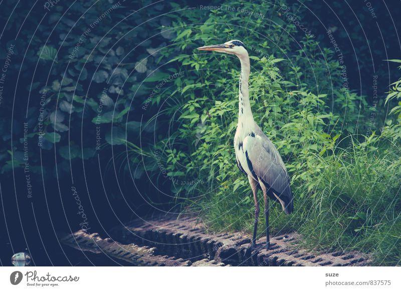 Der Vollstrecker elegant Natur Landschaft Tier Wiese Seeufer Teich Wildtier Vogel Flügel 1 stehen warten ästhetisch fantastisch natürlich Neugier wild grün