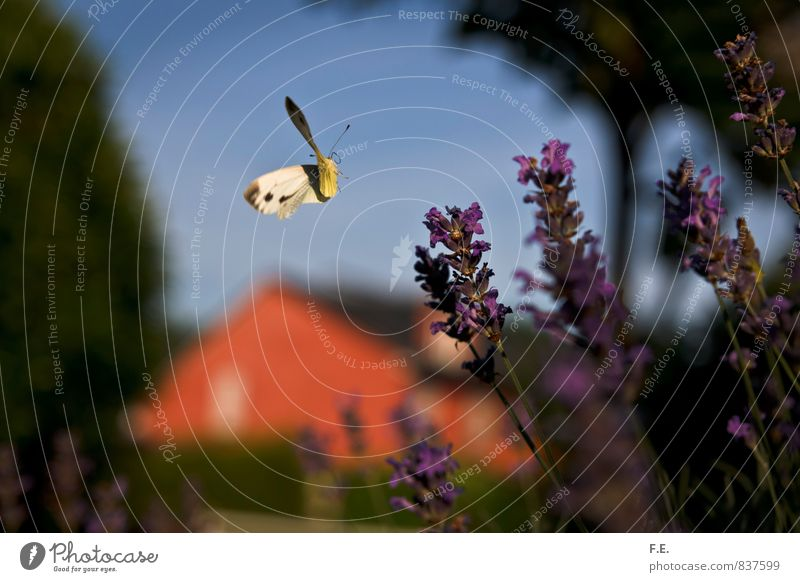 Landender Zitronenfalter Natur Frühling Lavendel Garten Schmetterling Stadt blau gelb grün violett rot ästhetisch elegant Freiheit Leichtigkeit Farbfoto