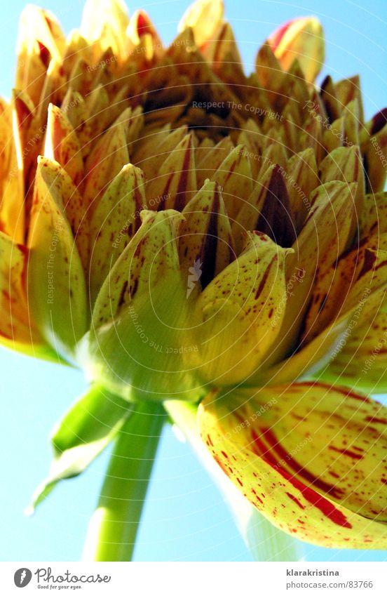Dahlie Sonne Blume blau Pflanze Sommer Blüte orange Dahlien