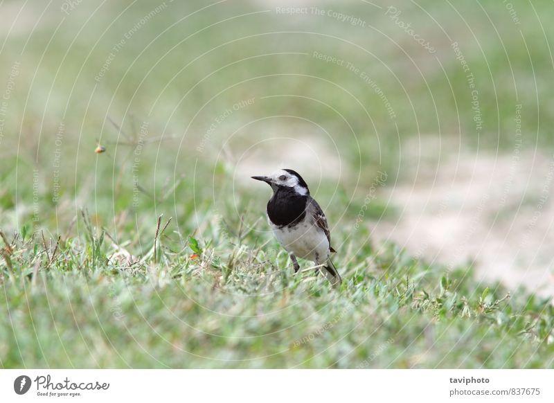 Natur grün weiß Tier schwarz Wiese Gras klein grau Vogel wild Feder stehen Europa Boden Schnabel