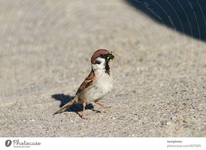 Sperling frisst Heuschrecke Essen schön Leben Sommer Natur Tier Park Vogel beobachten füttern sitzen klein natürlich wild grün Appetit & Hunger Überleben Spatz