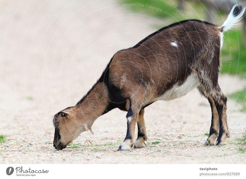 grün Tier Leben Gras klein Essen Stein braun Körper Mund Körperhaltung Bauernhof Zoo Säugetier Gasse Schaf