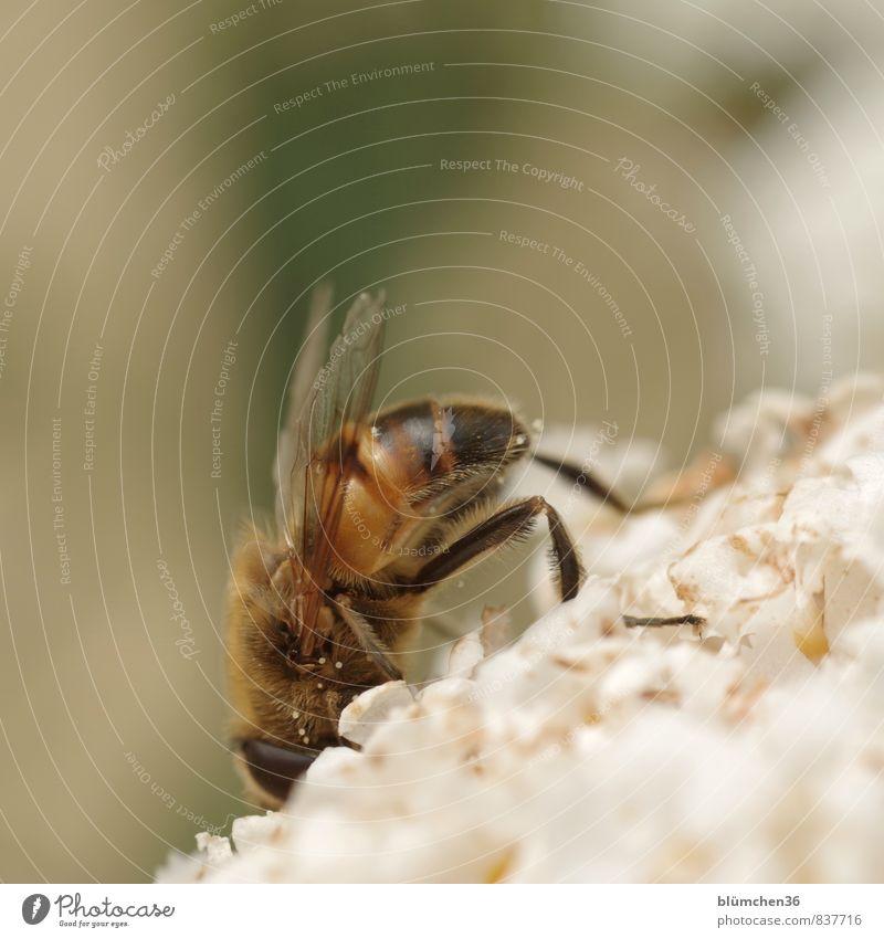 kopfüber Natur Blüte Sommerflieder Tier Nutztier Wildtier Insekt Mistbiene Zweiflügler Keilfleckschwebfliege Schwebfliege 1 klein braun gelb schwarz weiß