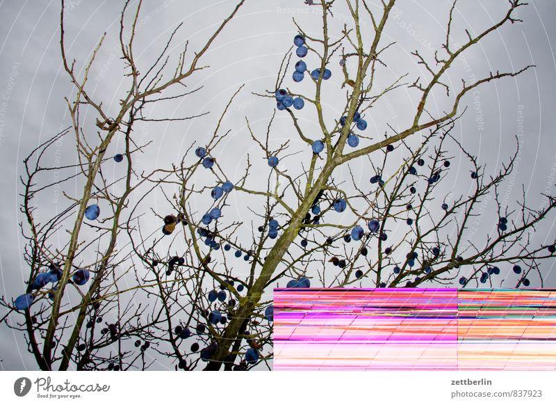 Bestätigt ist bestätigt! Baum Herbst Frucht Ast Zweig Ernte Digitalfotografie Fehler Pflaume Pflaumenbaum Farbfehler