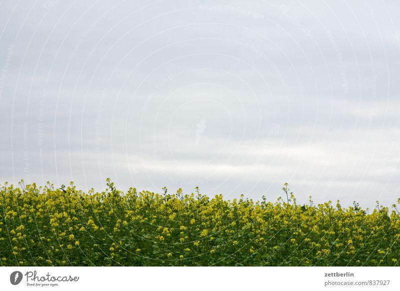 Raps Feld Rapsfeld Öl Biomasse Biokraftstoff Rapsöl Blüte gelb Rapsblüte Himmel Wolken Wolkendecke Landschaft Grundbesitz Landwirtschaft