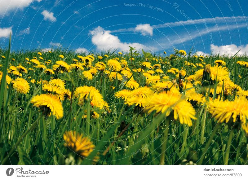 das Leben ist schön Blume grün blau Sommer Ferien & Urlaub & Reisen gelb Wiese Blüte Gras Frühling Rasen Pause Freizeit & Hobby Löwenzahn Schönes Wetter Alm