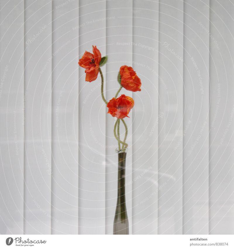 Farbe ins triste Grau Pflanze Blume Blüte Klatschmohn Stadt Stadtzentrum Stadtrand Fußgängerzone Haus Mauer Wand Fenster Jalousie Rollo Rollladen