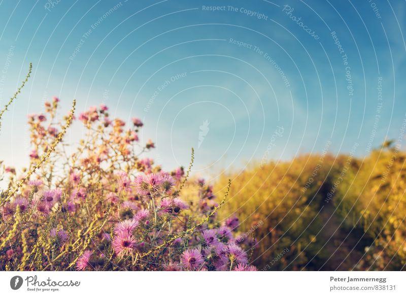 Ein Feldweg mit Blumen im Sonnenuntergang Himmel Natur Ferien & Urlaub & Reisen blau Pflanze Sommer ruhig Wolken Tier Ferne Wiese Gras Blüte Wege & Pfade