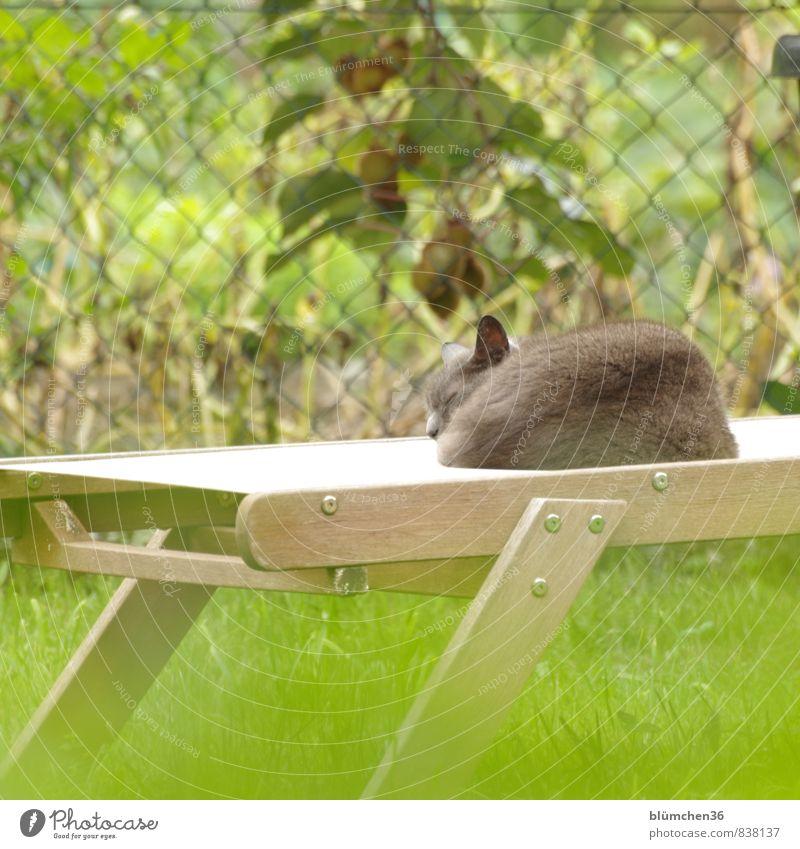 Mittagspäuschen Sommer Garten Wiese Tier Haustier Katze schlafen träumen Freundlichkeit schön grau grün ruhig Müdigkeit Erholung Pause Sonnenbad genießen liegen