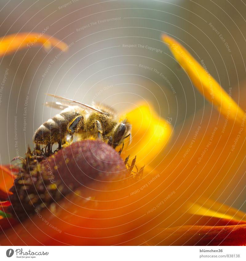 Voller Einsatz... Blüte Roter Sonnenhut Tier Nutztier Wildtier Biene Honigbiene Insekt Blühend schön klein natürlich feminin Sammlung bestäuben Fressen tragen