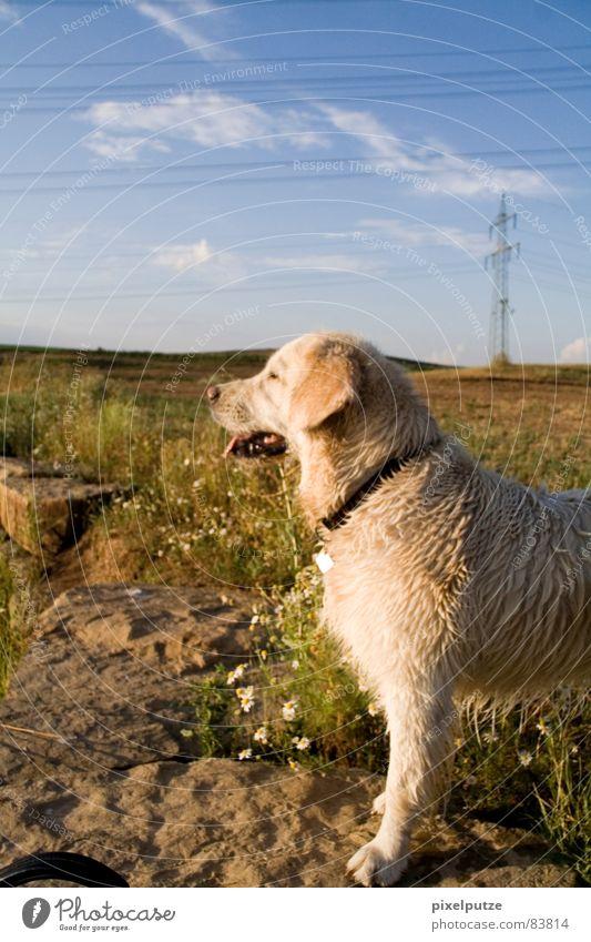 | Hundeleben Wachsamkeit Tierporträt geradeaus Golden Retriever nass Fell Schnauze Physik Sommer Wiese Blumenwiese Horizont Murmel stehen Erholung