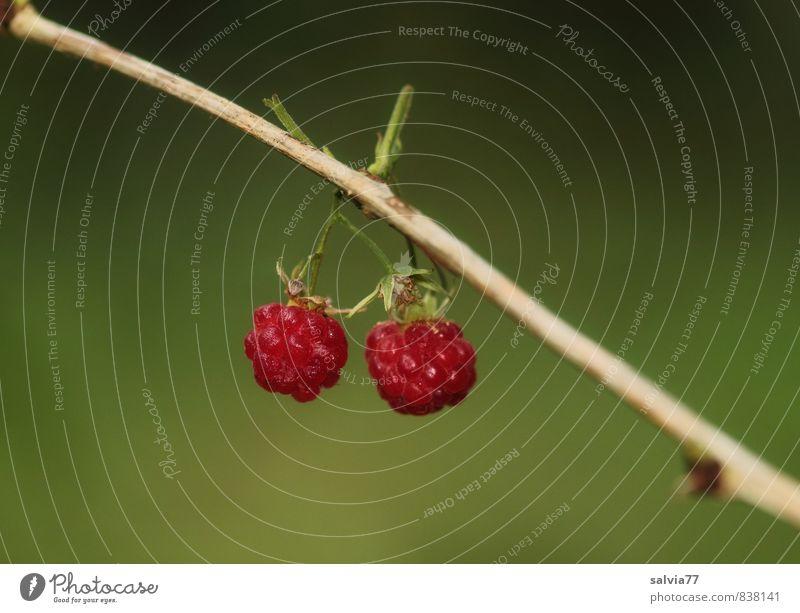 Fruchtzwerge Natur Pflanze schön grün Sommer rot Umwelt klein Gesundheit Garten Lebensmittel Sträucher frisch genießen Ernährung