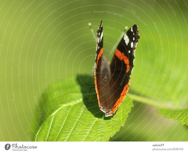 Admiral Umwelt Natur Pflanze Tier Frühling Sommer Baum Blatt Wildpflanze Wald Wildtier Schmetterling Flügel 1 krabbeln sitzen ästhetisch nah natürlich grün rot