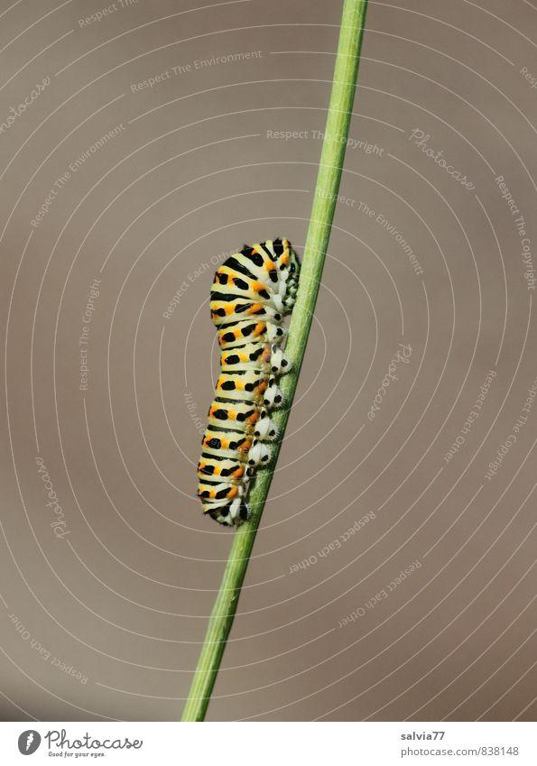 Raupenmodel 3 Umwelt Natur Tier Sommer Wildtier Schmetterling 1 Fressen krabbeln Wachstum natürlich weich grau grün orange schwarz Vorsicht Gelassenheit