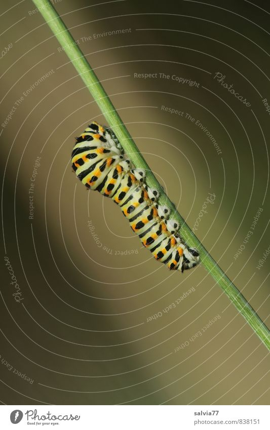Raupenmodel 2 Umwelt Natur Tier Sommer Wildtier Schmetterling 1 Fressen krabbeln träumen Wachstum nackt natürlich weich braun grün schwarz Zufriedenheit