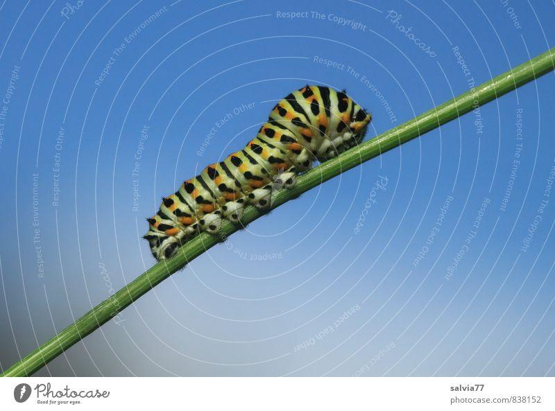 Raupenmodel 1 Umwelt Natur Tier Himmel Sommer Wildtier Schmetterling Fressen krabbeln Wachstum klein nackt natürlich blau grün schwarz Gelassenheit geduldig