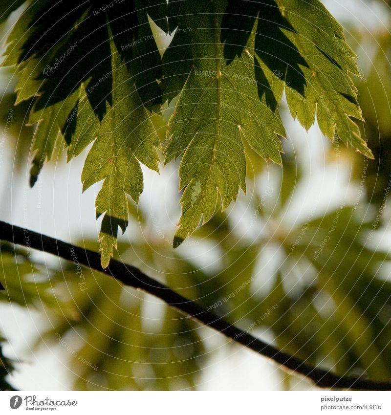   blattwerk Blatt grün Baum Pflanze Botanik Lichteinfall Schatten Ecke Physik Jahreszeiten Deutschland ästchen Ast Natur pixelputze Bewegung Dynamik Wärme Zweig