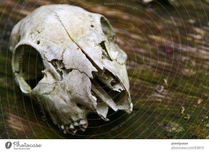 | körperlos Tierschädel Tod Verschiedenheit Holz Vergangenheit Trauer hart Wildnis Naturgesetz Verzweiflung Makroaufnahme Nahaufnahme Vergänglichkeit körperöos