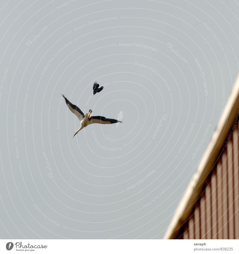 David gegen Goliat Weißstorch Storch Vogel Tier Schutz behüten Beschützer fauna race Natur Außenaufnahme plumage wildlife Flügel Zugvogel Dohle Alpendohle