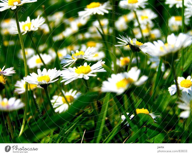 Sommer Erinnerungen Blume grün Wiese Blüte Gras Gänseblümchen Blumenwiese Waldwiese