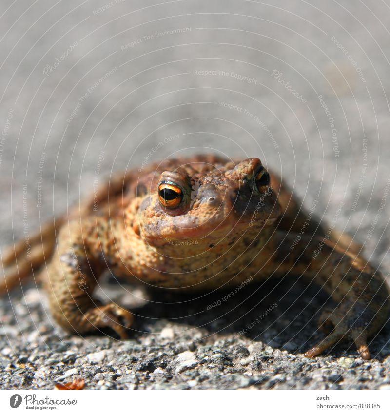 bizarr | Hypnosekröte Natur Erde Tier Wildtier Frosch Kröte Lurch 1 Blick sitzen Ekel kalt nass braun Auge Maul Unke Gedeckte Farben Außenaufnahme Menschenleer