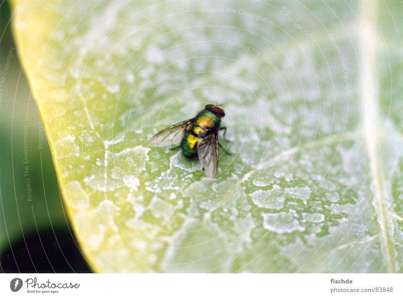 fliege grün ruhig Blatt Fliege trist nah Insekt Gelassenheit Langeweile bewegungslos geduldig Unbekümmertheit Unbeschwertheit interessant Eintagsfliege ruhend