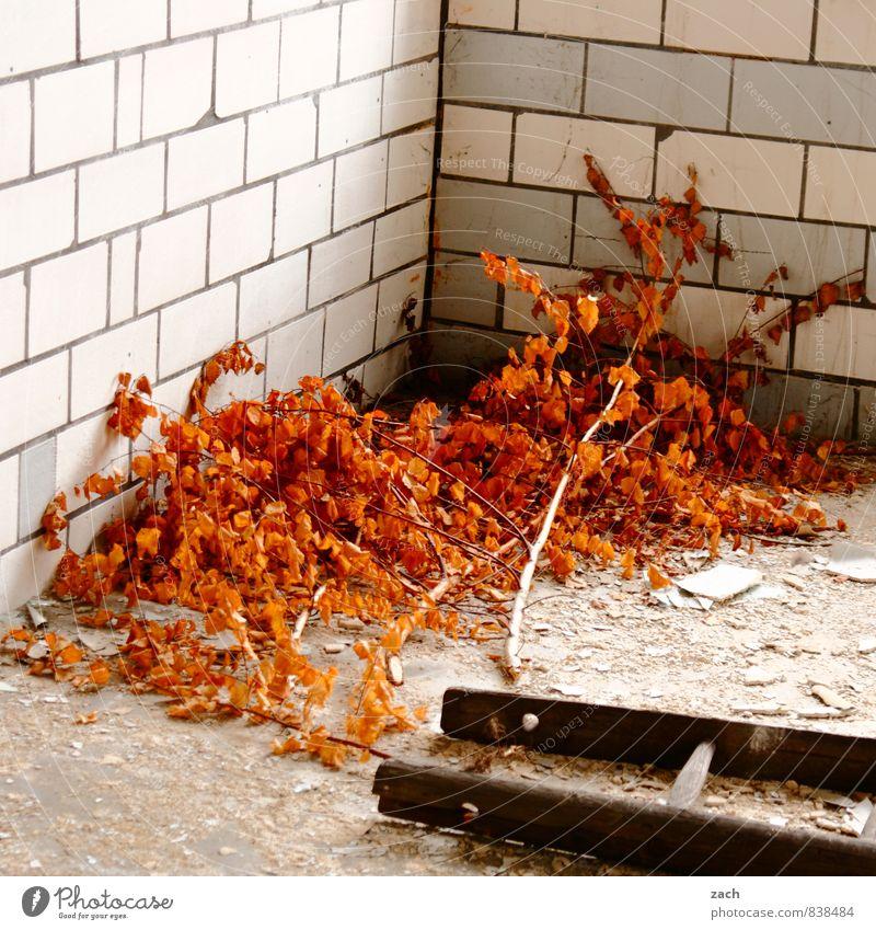 Der Herbst fiel von der Leiter Wohnung Haus Renovieren Pflanze Baum Blatt Birke herbstlich Herbstlaub Herbstfärbung Ruine Mauer Wand verblüht dehydrieren