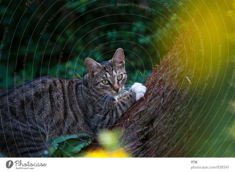 Puma Katze ruhig Tier dunkel kalt außergewöhnlich elegant beobachten Abenteuer Baumstamm sportlich Klettern entdecken Tiergesicht fangen Jagd