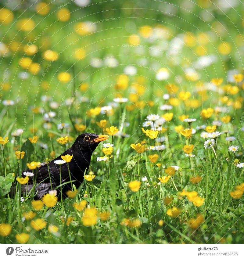 Ich kann dich sehen... siehst du mich etwa auch? Sommer Garten Natur Pflanze Tier Gras Blüte Vogel Amsel 1 beobachten Blick gelb grün Tierliebe schön Glück