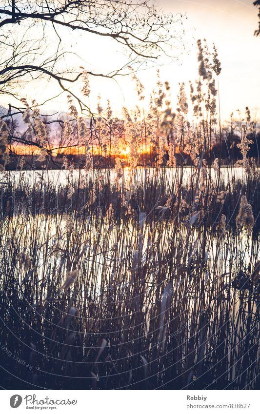 L'idylle des roseaux II Umwelt Natur Landschaft Pflanze Wasser Sonne Sonnenaufgang Sonnenuntergang Sonnenlicht Schilfrohr Küste Seeufer Teich Fluss kalt