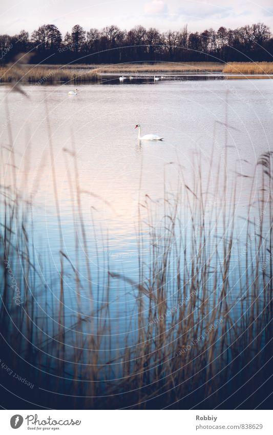 Lac des Cygnes Natur Landschaft Wasser Schilfrohr Küste Teich See Vogel Schwan 1 Tier Schwimmen & Baden kalt blau Idylle Umwelt Gedeckte Farben Außenaufnahme