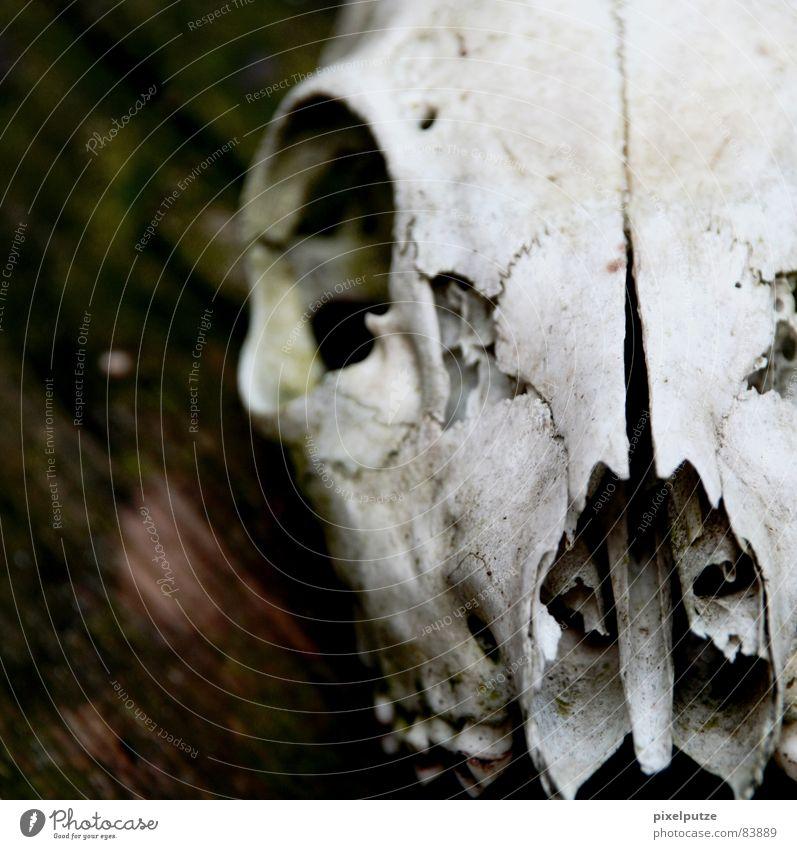 körperlos || Tierschädel Tod Verschiedenheit Holz Vergangenheit Trauer hart Wildnis Naturgesetz Katze Verzweiflung Vergänglichkeit Säugetier thats life Spitze
