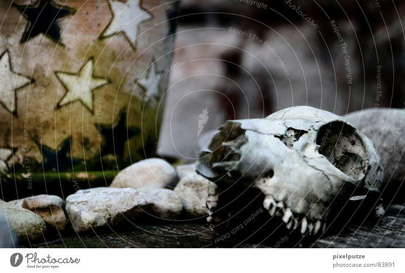 körperlos ||| Tierschädel Tod Verschiedenheit Holz Vergangenheit Trauer hart Wildnis Naturgesetz Katze Tisch Blumentopf Topf steinig Verzweiflung