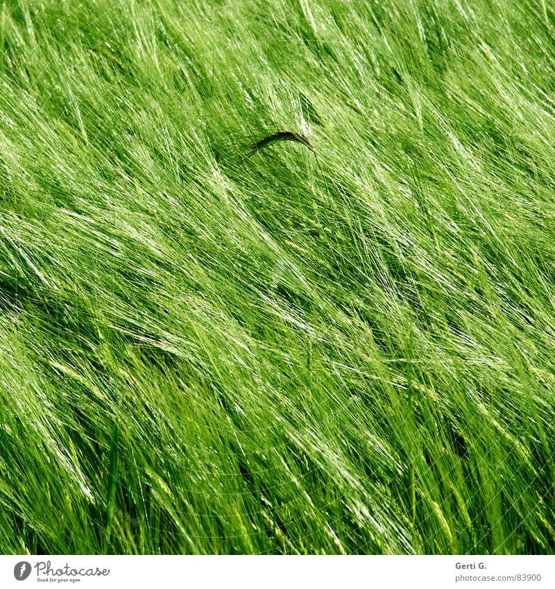 es ist mir eine Ähre Rohstoffe & Kraftstoffe Zerealien Landwirtschaft Feld Lebensmittel Kornfeld grün Wind Sommer Quadrat diagonal Aussaat Ähren