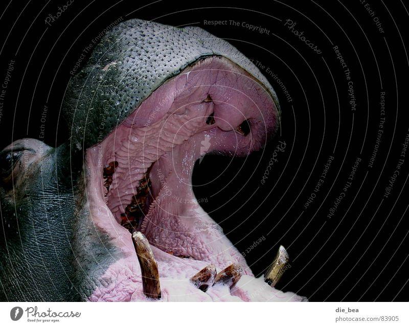 Die Zahnarztfrau schwarz Tier sprechen groß Gebiss schreien Säugetier Maul Angeben rülpsen Flußpferd Zahnfleisch Schleimhaut Großmaul