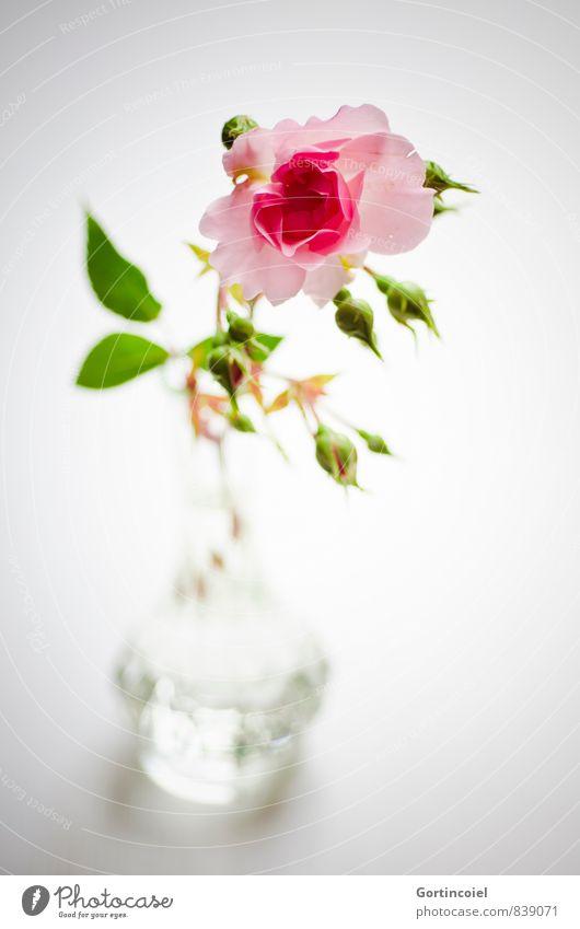 Gruß Blume Rose Dekoration & Verzierung Duft schön grün rosa Rosenblüte Rosenblätter Vase Stillleben Farbfoto Innenaufnahme Studioaufnahme Textfreiraum unten