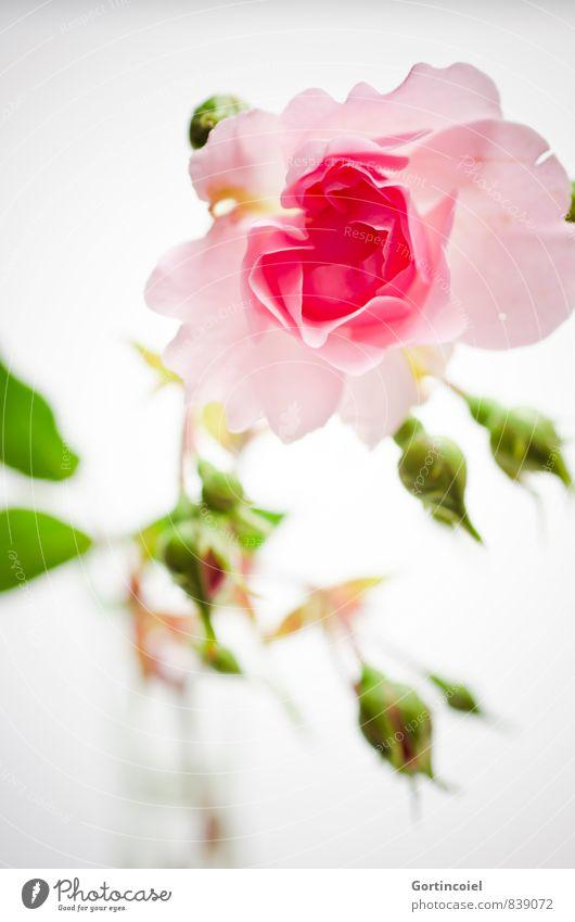 Für Dich Blume Rose Duft grün rosa Rosenblüte Rosenblätter Dekoration & Verzierung Geschenk Stillleben Gruß Farbfoto Innenaufnahme Studioaufnahme Nahaufnahme