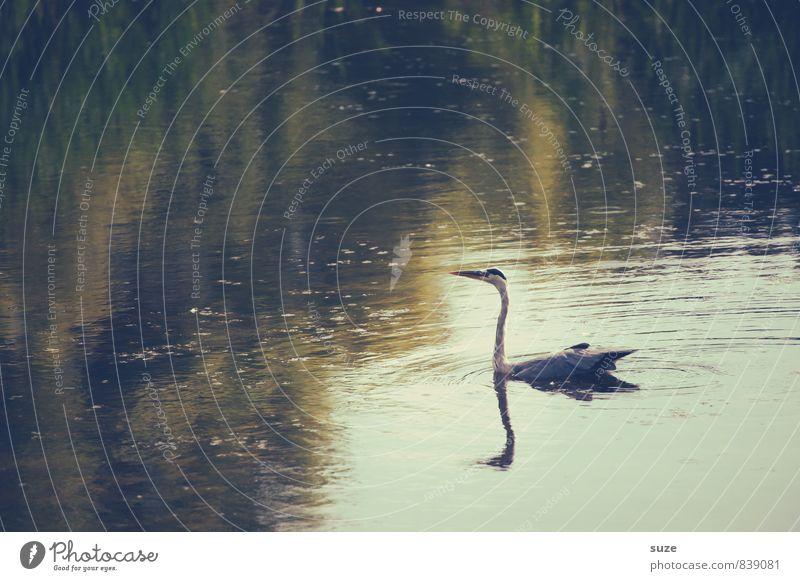 Herr Strese wittert Morgenluft elegant Jagd Natur Landschaft Tier Wasser Seeufer Teich Wildtier Vogel Flügel Schwimmen & Baden Im Wasser treiben glänzend