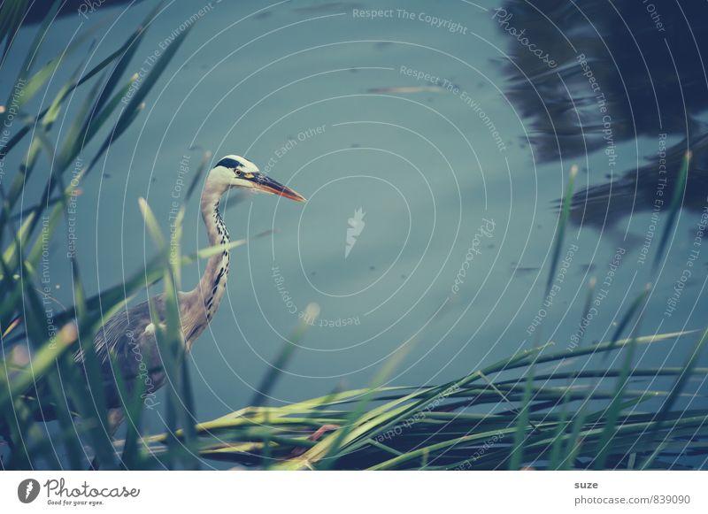 Er ist einer, der gerne lau badet ... elegant Umwelt Natur Landschaft Tier Wasser Seeufer Teich Wildtier Vogel Flügel 1 warten ästhetisch authentisch natürlich