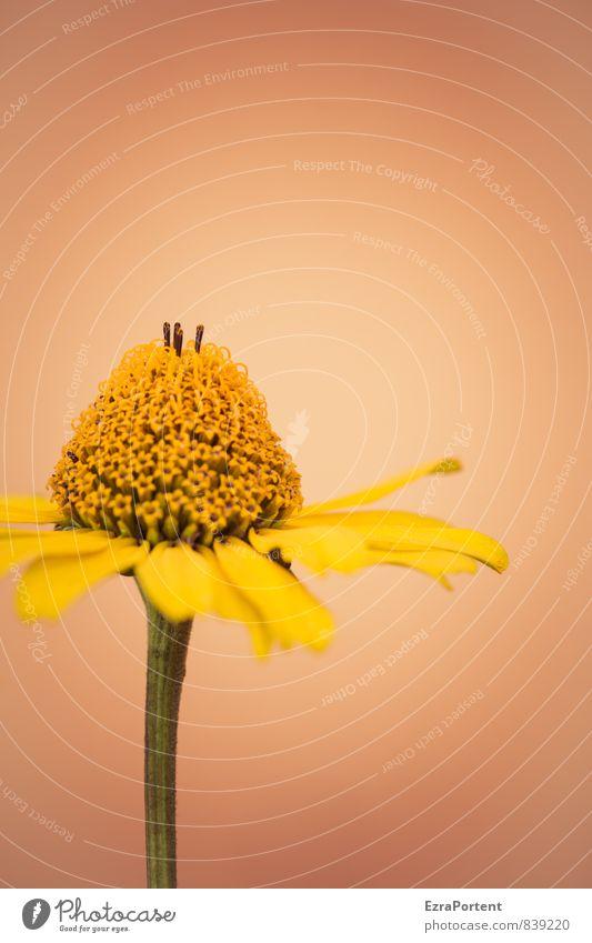 die Braut Natur Pflanze schön Sommer Blume Umwelt gelb Wand Blüte Frühling Mauer natürlich Garten Fassade orange leuchten