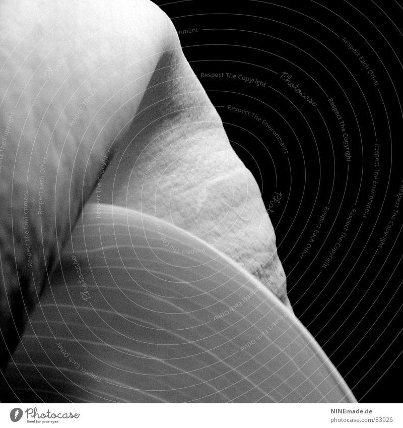 gegensätzlich ... Calla Blume schwarz weiß weich schön rund Gegenteil harmonisch verrückt zart Ecke Blüte Samt fantastisch ungeheuerlich himmlisch samtig