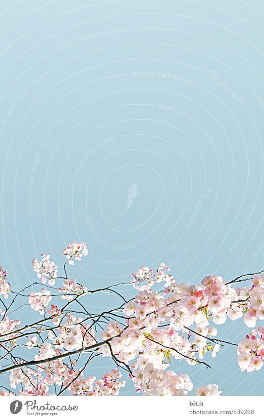 Blütenborte Himmel Natur Ferien & Urlaub & Reisen Pflanze schön Sommer Baum Blume ruhig Frühling Blüte Glück Feste & Feiern Stimmung Zufriedenheit Dekoration & Verzierung