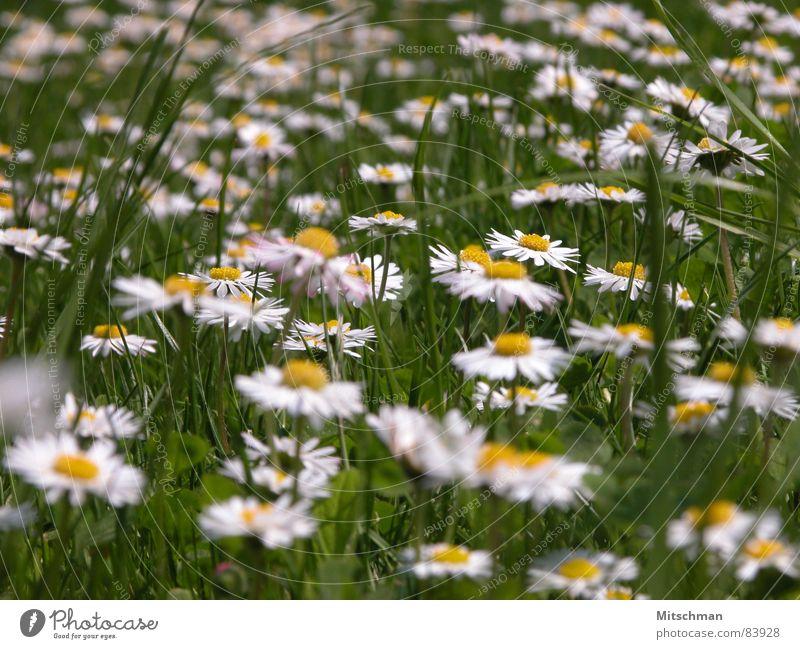 Gänseblümchen Wiese Gras grün gelb weiß Unschärfe Frühling Blume Grünfläche Dorfwiese Rasen Schönes Wetter