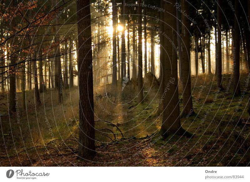 Wald Baum Wald Beleuchtung glänzend Ast Tanne Waldlichtung Nadelwald Franken Wäldchen Waldwiese