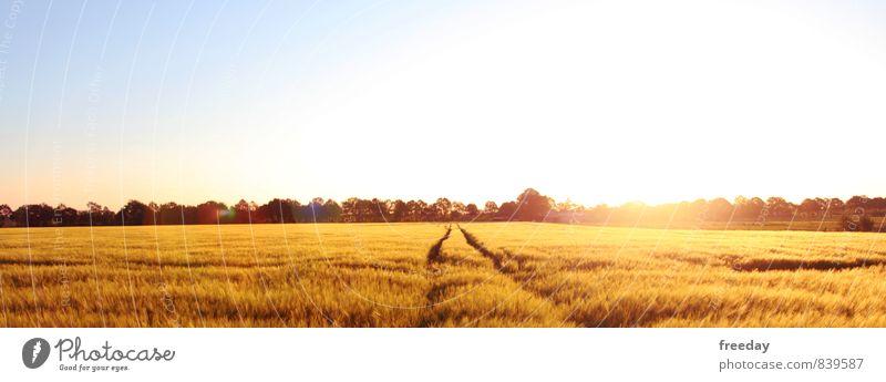 Northwest Germany Sommer Natur Landschaft Himmel Wolkenloser Himmel Sonnenlicht Schönes Wetter Pflanze Nutzpflanze Getreide Getreidefeld Ernte Landwirtschaft
