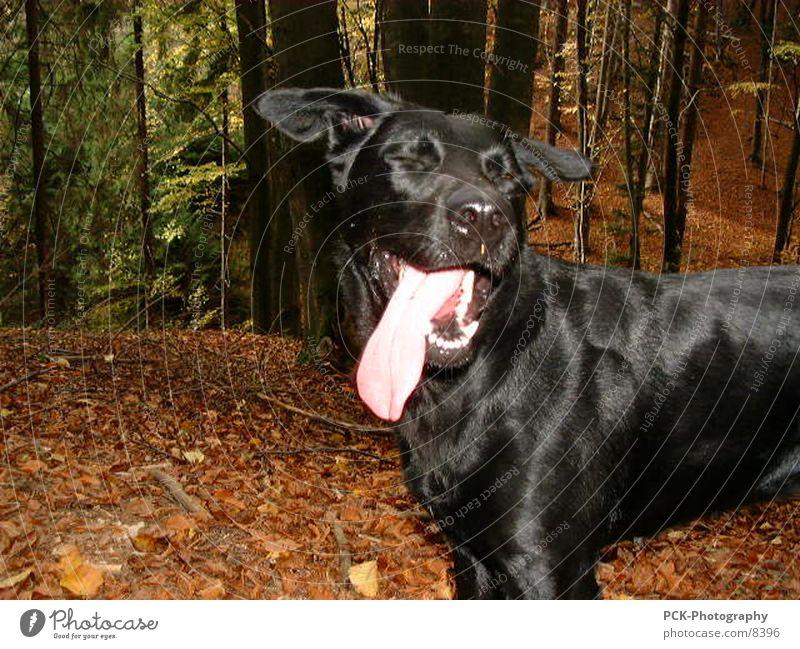 doggy Hund Labrador Mischling Wald schwarz Fell Freude Zunge Gebiss
