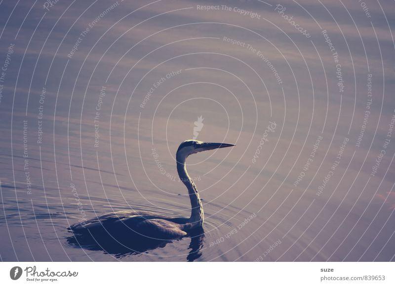 Herr Strese in Stimmung elegant Schwimmen & Baden Umwelt Natur Landschaft Tier Urelemente Wasser Teich See Wildtier Vogel Flügel 1 ästhetisch dunkel fantastisch
