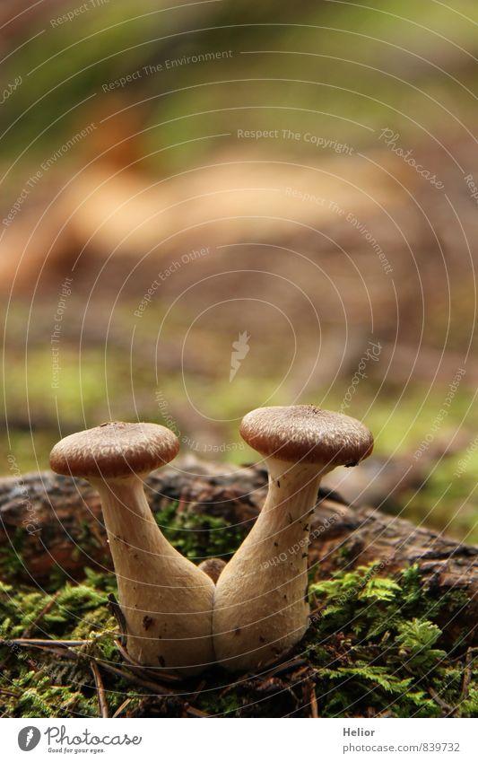 Pilzpaar Natur Pflanze grün Wald Herbst natürlich braun Zusammensein Erde weich Zusammenhalt Partnerschaft Moos Teamwork beige