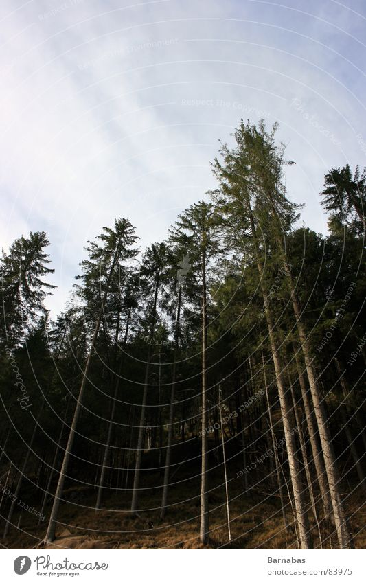 Up There Himmel Baum Wald groß Perspektive Macht Norwegen Skandinavien